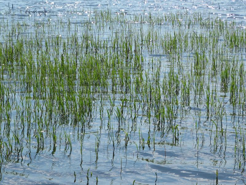 Reisfelder, Terrassen, Plantage, Bauernhof Ein organischer asiatischer Reisbauernhof und -landwirtschaft Junger wachsender Reis stockfotografie