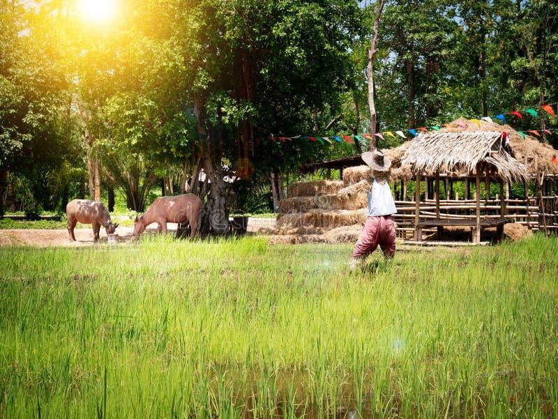 Reisfelder in Thailand, Südostasien Reisfeld und -stroh stockbilder