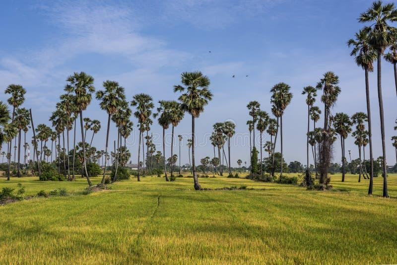 Reisfelder und -palme lizenzfreie stockbilder
