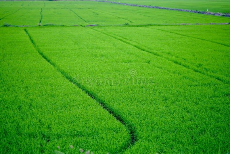 Reisfeldgrün am Abend lizenzfreies stockfoto