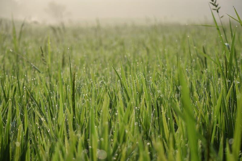 Reisfeldhintergrund Morgen Paddy fild Hintergrund schön  grün lizenzfreies stockfoto