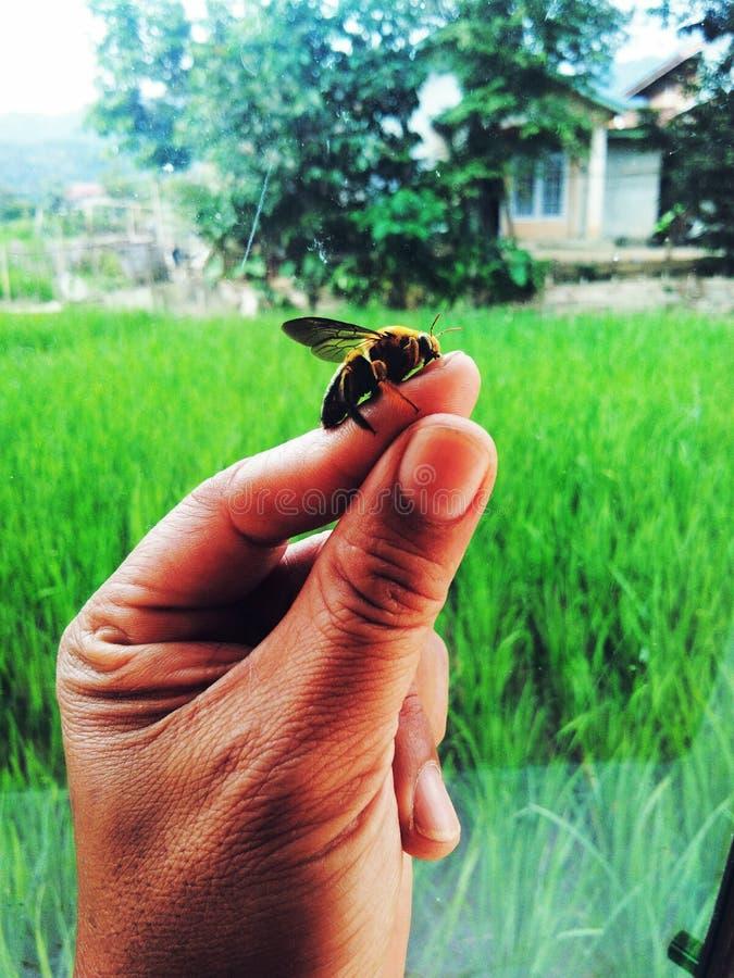 Reisfeldkäfer tanzen an den kleinen Fingerspitzen stockfoto