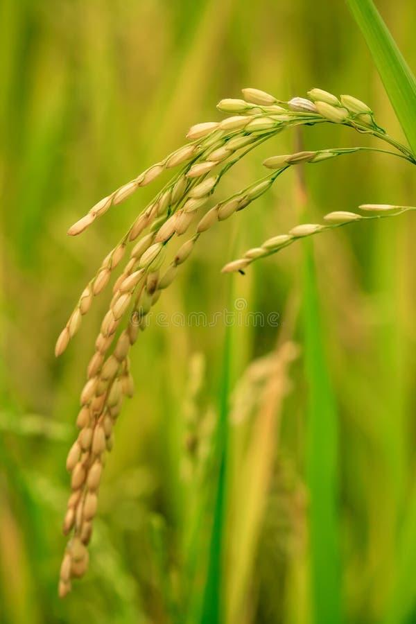 Reisfeldnahaufnahme stockbilder