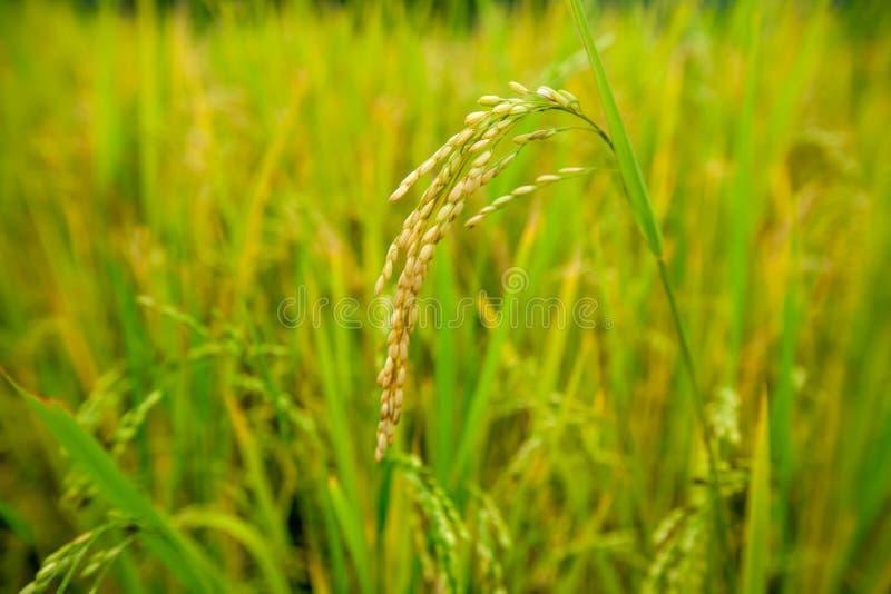 Reisfeldnahaufnahme stockfoto