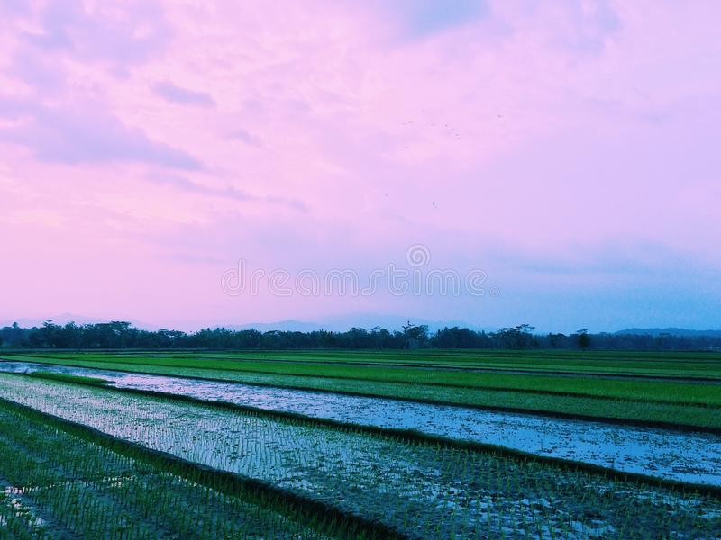 Reisfeldsonnenuntergang 3 lizenzfreie stockfotos