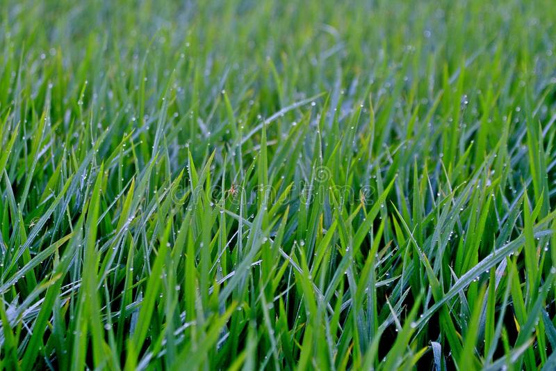 Reisfeldspinne lizenzfreie stockbilder