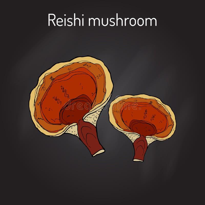 Reishi蘑菇Ganoderma lucidum, superfood,药用植物 库存例证