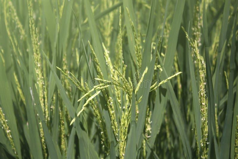 Reiskörner der Reisfelder in der Tür heraus stockbild