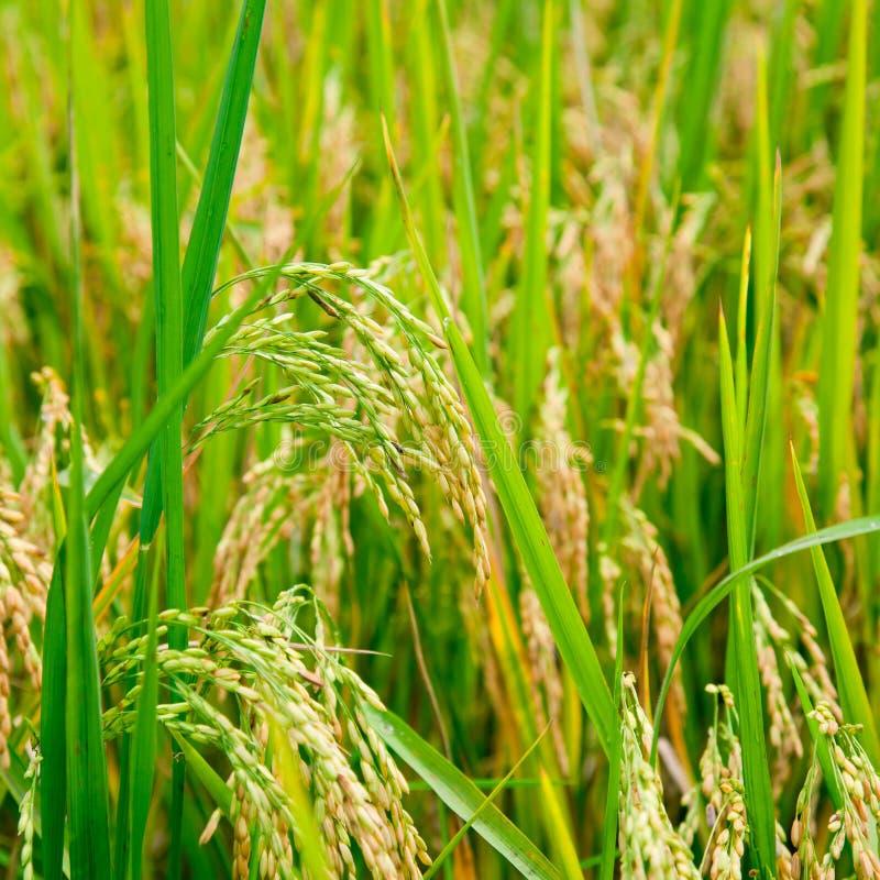 Reispaddy lizenzfreies stockbild