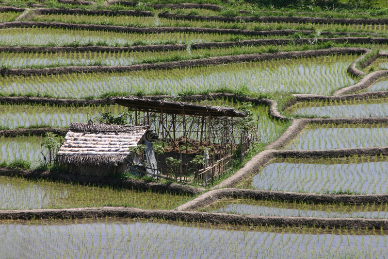 Reispaddys lizenzfreies stockfoto