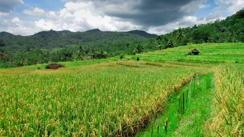 Reispaddys, die das Gelb färben begonnen haben lizenzfreie stockfotografie