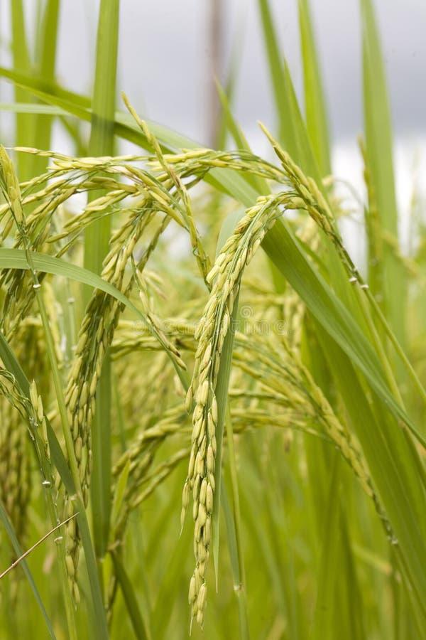 Reispflanze stockfoto