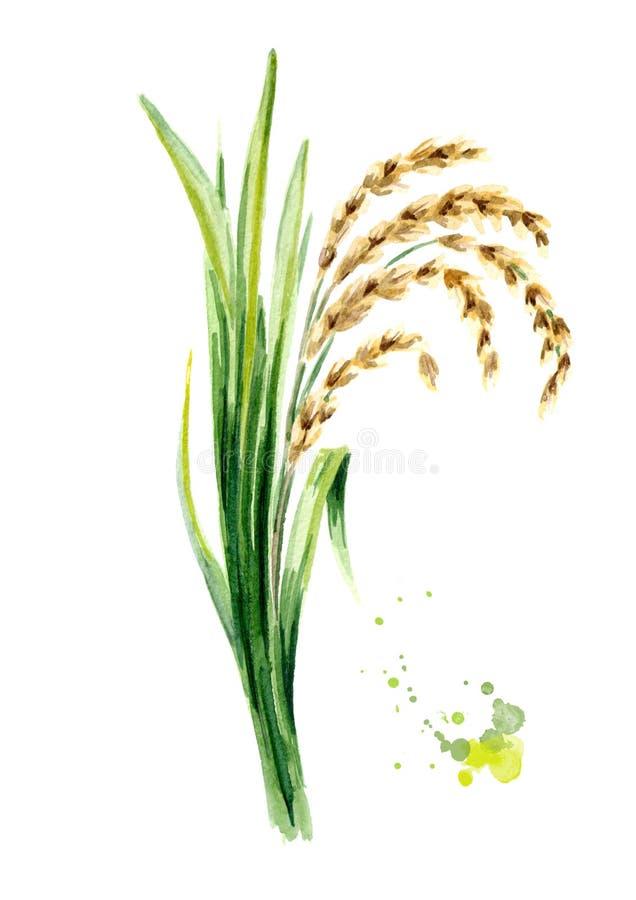 Reispflanze mit Blättern und Körnern Gezeichnete Illustration des Aquarells Hand, lokalisiert auf weißem Hintergrund lizenzfreie abbildung