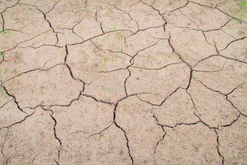 Reispflanzenwachstum in gebrochenem Schlamm lizenzfreie stockfotografie
