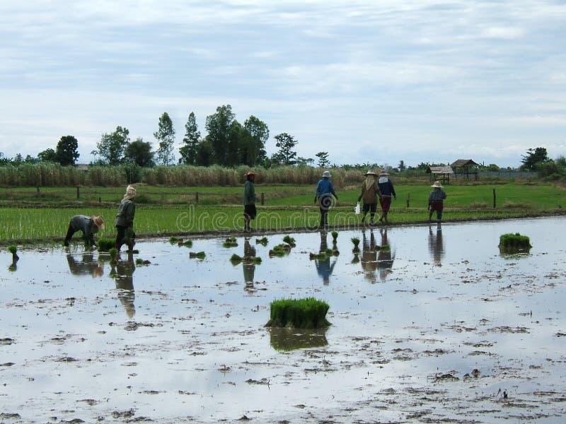 Reisplantage in Thailand lizenzfreies stockfoto