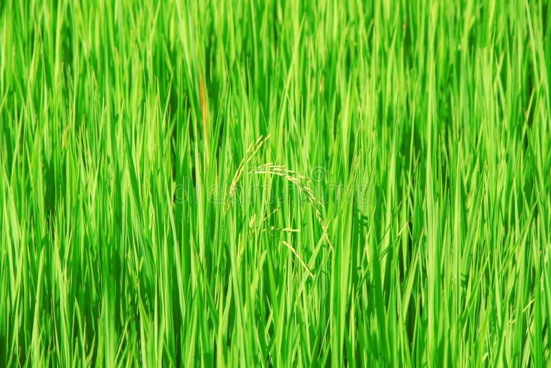 Reissamen auf dem Gebiet lizenzfreie stockfotografie