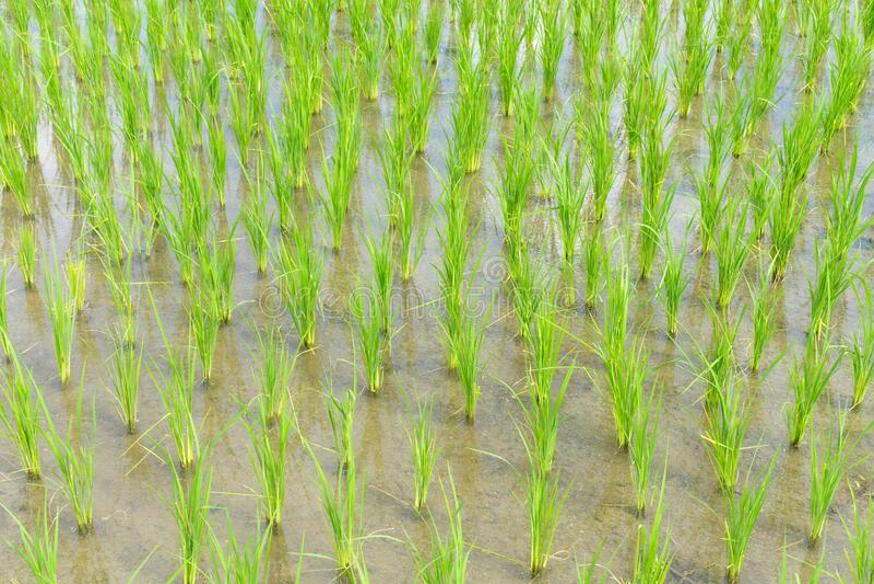 Reissprossen Pflanzenwachstum im Reisfeld stockbilder