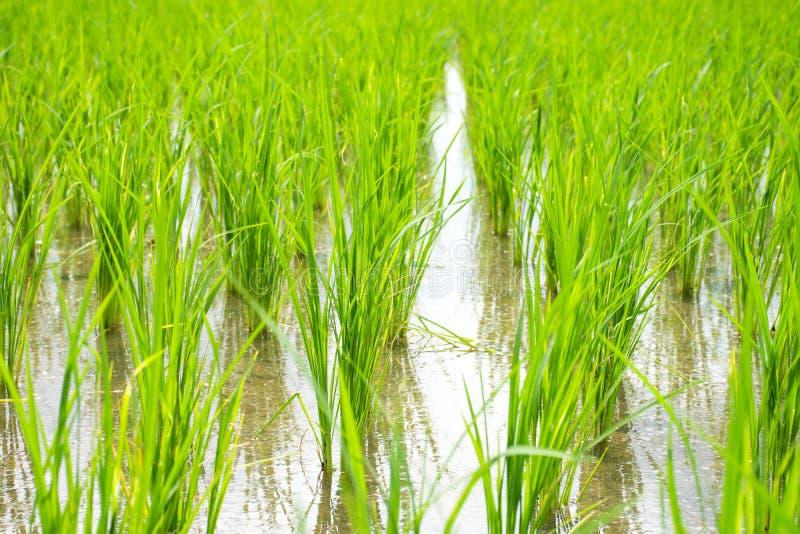 Reissprossen Pflanzenwachstum im Reisfeld lizenzfreie stockfotos