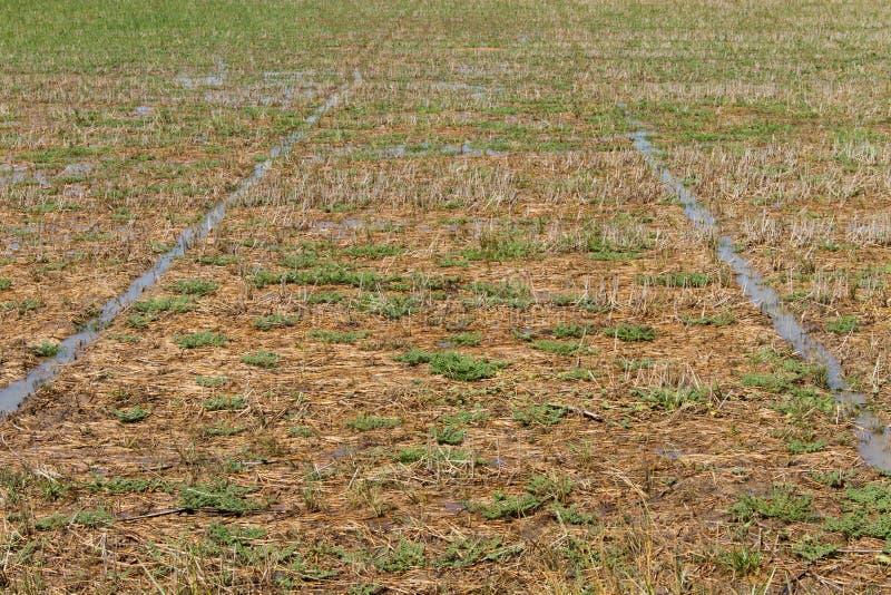 Reisstoppelfelder lizenzfreie stockbilder