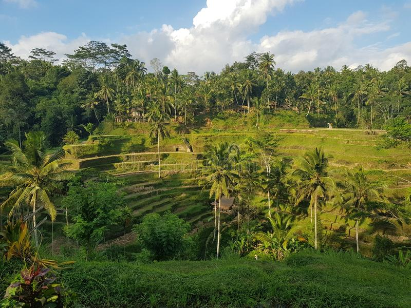 Reisterrassen auf der Insel von Bali lizenzfreies stockfoto