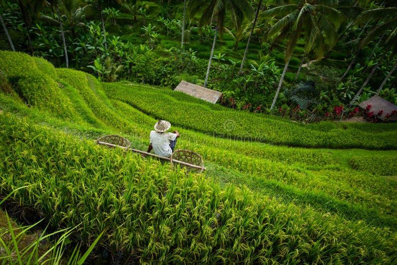 Reisterrassenarbeitskraft mit Körben Bali stockbild