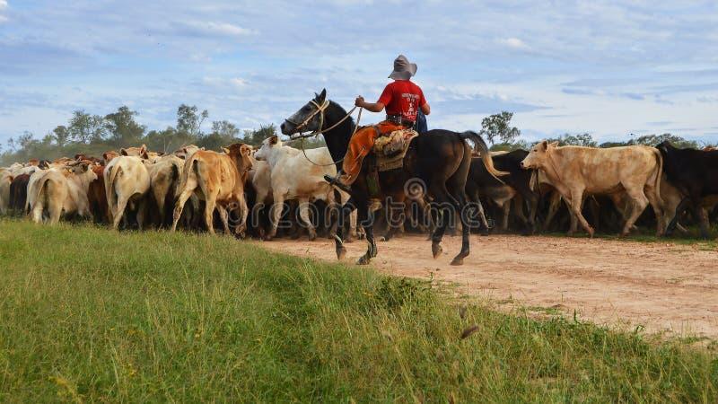 Reiter, der Vieh erfasst lizenzfreies stockbild