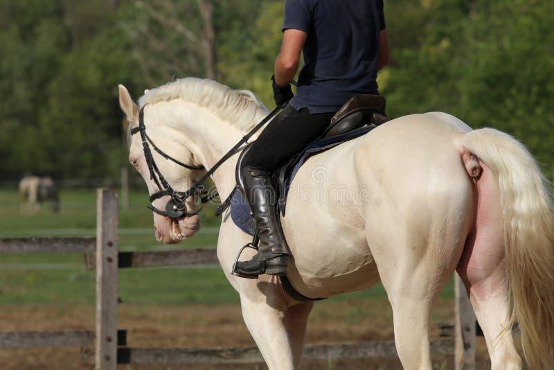 Reiter und ein schönes Dressurreitenpferd, das in die Hürde galoppiert stockbilder