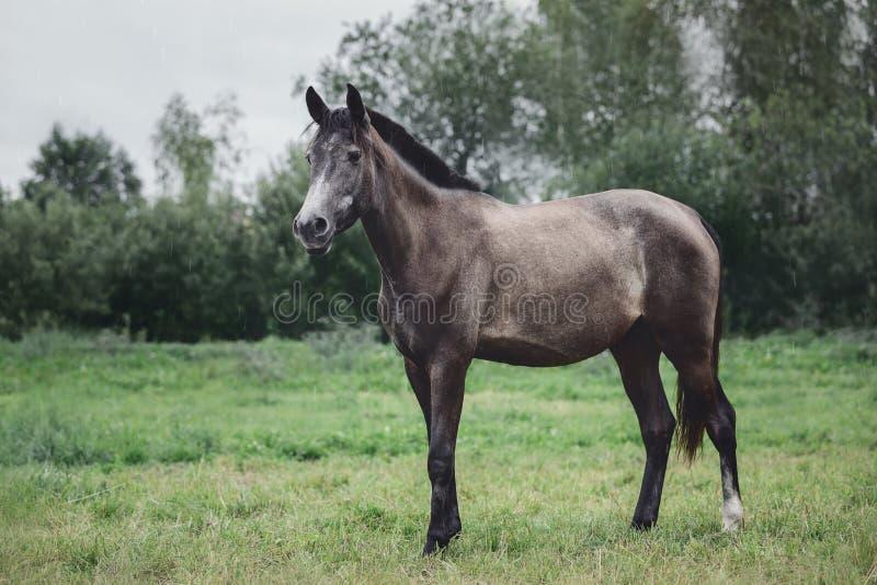 Reitpferd auf grünem Feld im Sommer graues Traktorpferd im Sommer regnen auf grünem Feld lizenzfreies stockfoto