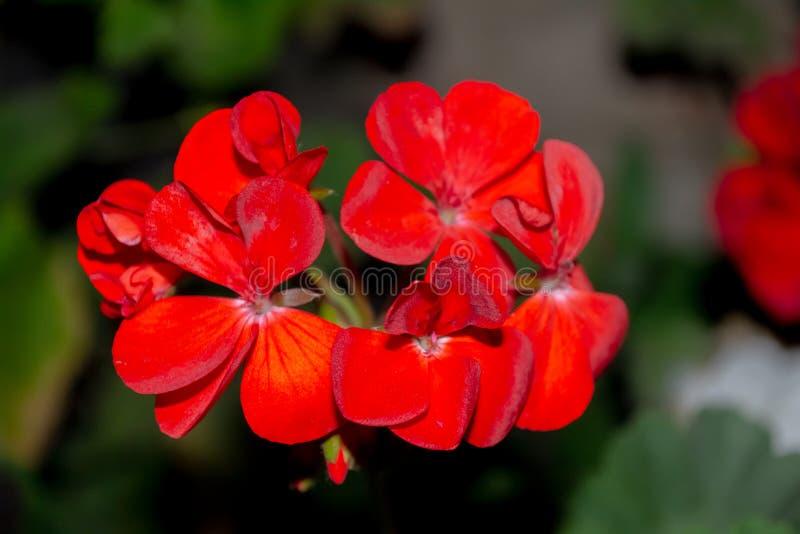 Reizend Kirschblumen lizenzfreies stockfoto