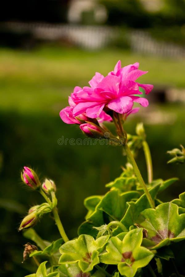 Reizend Kirschblumen stockfotografie