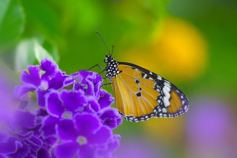 Reizend schöner Monarchfalter auf purpurroter Blume stockfotos