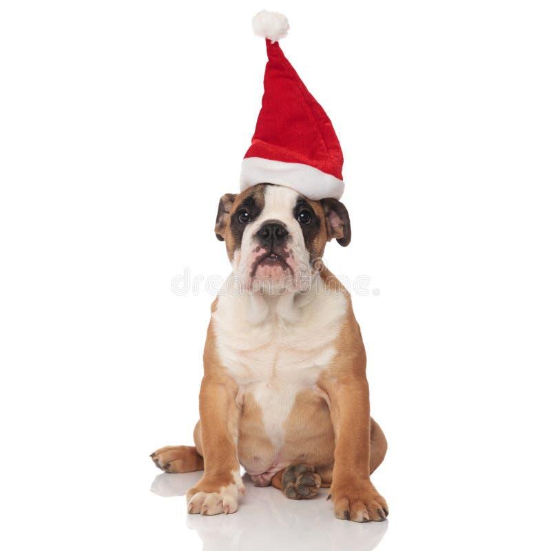 Reizende braune englische Bulldogge mit Sankt-Kappensitzen lizenzfreie stockfotografie