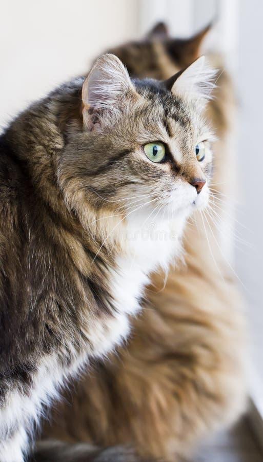 Reizende braune weiße Katze im Haus, weibliche sibirische Zucht lizenzfreie stockbilder
