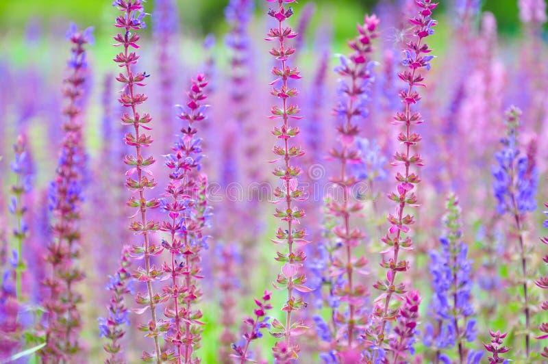 Reizende Farben der Lavendelblume auf dem Gebiet lizenzfreie stockbilder
