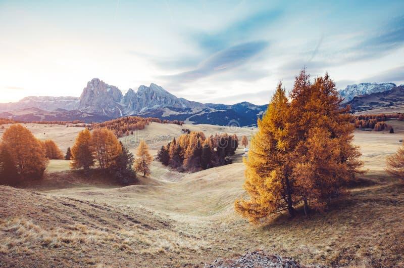 Reizende gelbe Lärchen im Sonnenlicht Standortplatz Dolomiti, COM stockbilder