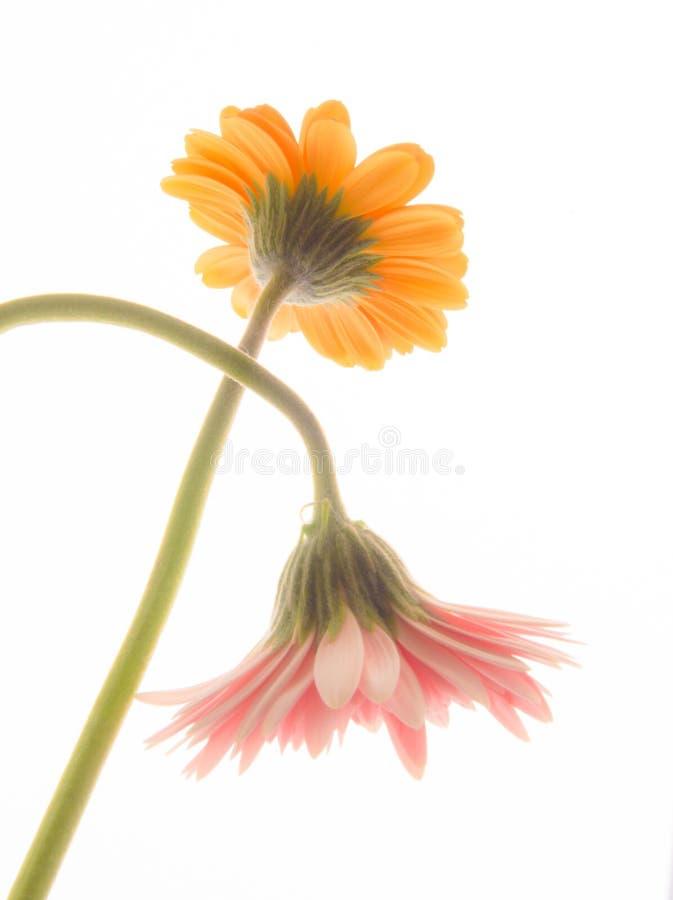 Reizende gelbe und rosa Gerberagänseblümchenblumen stockfoto