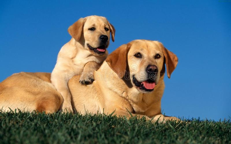 Reizende Hunde stockfotos