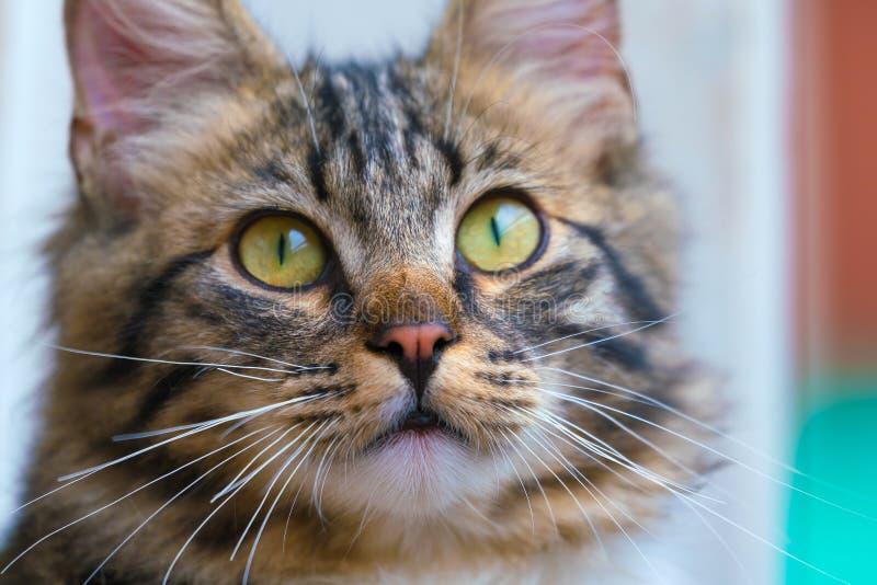 Reizende Katzenmündungsnahaufnahme Schicke flaumige Katze lizenzfreie stockfotografie