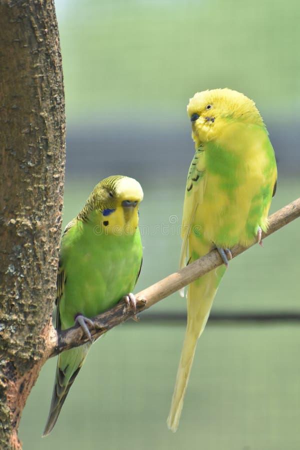 Reizende Paare der romantischen Sittiche in einem Baum lizenzfreie stockfotos