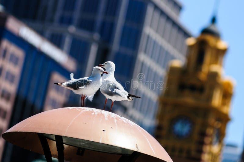 Reizende Paarvögel in Melbourne lizenzfreie stockbilder