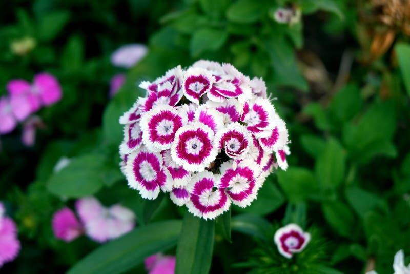 Reizende Purpur-und weißeblumen stockfoto