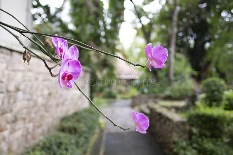 Reizende purpurrote Orchidee Anggrek Bulan lizenzfreie stockfotos