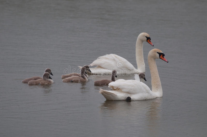 Reizende Schwanfamilie mit Küken lizenzfreies stockfoto