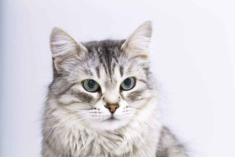Reizende silberne Katze im Haus, weibliche sibirische Zucht lizenzfreie stockbilder