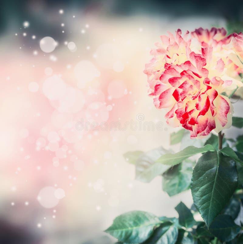 Reizender Blumennaturhintergrund mit ungewöhnlicher roter Gelb Rosen- und bokehbeleuchtung stockfotografie