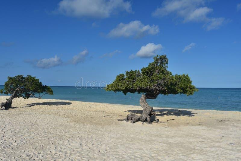 Reizender Divi Divi Trees auf einem Aruban-Strand lizenzfreies stockbild