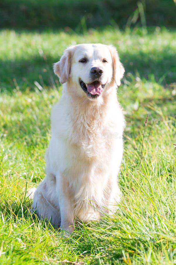 Reizender goldener Apportierhund lizenzfreie stockbilder