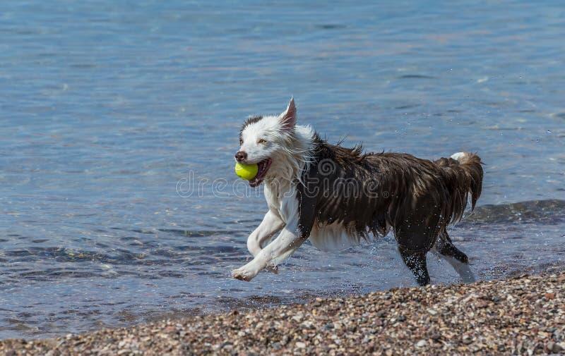 Reizender Hund, der auf einem sonnigen Strandlaufen läuft stockbild