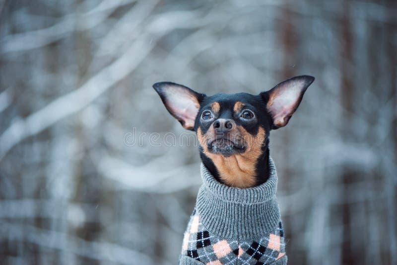 Reizender Hund in einer Strickjacke in einem Winterwald lizenzfreies stockfoto