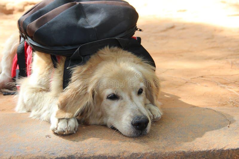 Reizender Hund mit Rucksack lizenzfreie stockfotografie